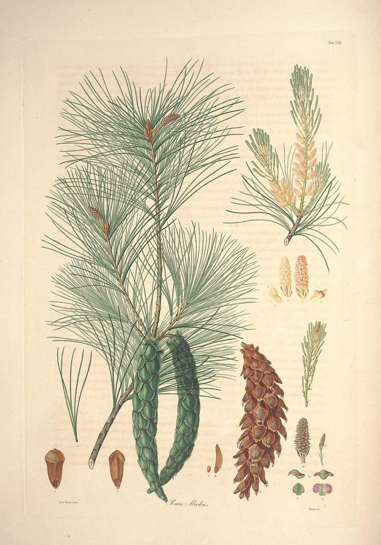 A description of the genus Pinus (Tab. XXII) (7797066566)
