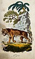 A tiger in an exotic scenery. Coloured etching. Wellcome V0021331.jpg