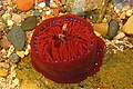 Aberdour bay, beadlet anemone in rock-pool - geograph.org.uk - 824521.jpg
