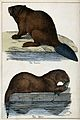Above, a beaver; below, an otter. Lithograph by J. B. Wellcome V0020746.jpg