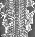 Abyssochrysos melanioides radula.png