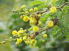 Cranberry Tree Or Bush