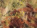 Acacia melleodora flower heads.jpg
