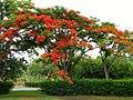 Acacia roja - Flamboyán (Delonix regia) (14092031280).jpg