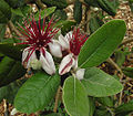 Acca sellowiana, flower of the Guavasteen. (10841333003).jpg
