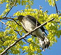 Accipiter nisus -Rotherhithe -London-8.jpg