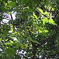 Acer cappadocicum leaves and fruits Trentham.jpg