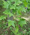 Acer oliverianum kz1.jpg