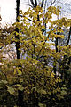 Acer pensylvanicum 1219008.jpg