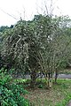 Acharya Jagadish Chandra Bose Indian Botanic Garden - Howrah 2011-02-20 1587.JPG