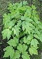 Actaea racemosa kz01.jpg