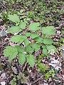 Actaea spicata sl1.jpg