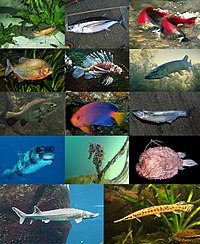 Actinopterygii-0001.jpg