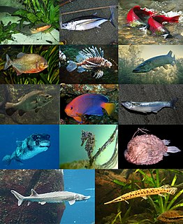 Actinopterygii Class of ray-finned bony fishes
