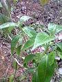Adalodakam small variety.JPG