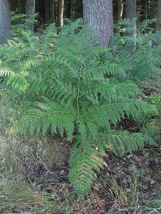 Adelaarsvaren plant Pteridium aquilinum