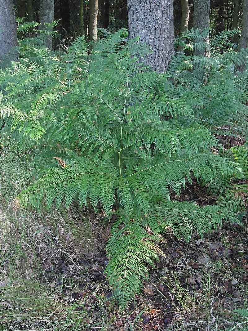 Adelaarsvaren plant Pteridium aquilinum.jpg