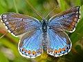 "Adonis Blue Butterfly (Lysandra bellargus) female ""ceronus"" form (14172947129).jpg"