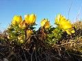 Adonis vernalis sl46.jpg