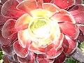 Aeonium arboreum InvereweGarden.JPG