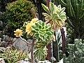Aeonium arboreum albovariegatum.jpg