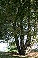 Aesculus hippocastanum JPG1b.jpg