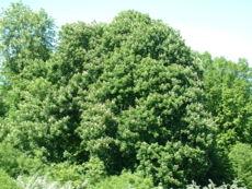 Aesculus hyppocastanum 2.jpg