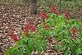 Aesculus pavia 2.jpg