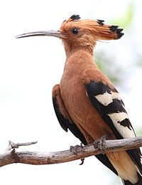 African Hoopoe, Upupa africana (Upupa epops) at Marakele National Park, Limpopo, South Africa (16378122666).jpg