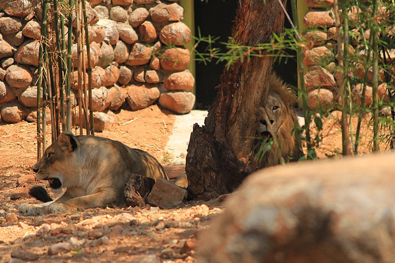 File:After having food, Lions resting.jpg