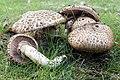 Agaricus bohusii (33229461686).jpg