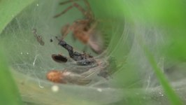 Bestand:Agelena labyrinthica.ogv