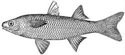 Mulet de fleuve, Agonostomus monticola