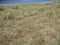 Agropyron cristatum (5459345139).jpg