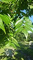 AilanthusFeuille.jpg