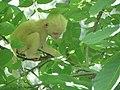Albino Rhesus Monkey.jpg