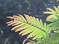 Albizia chinensis - Chinese Albizia young leaves at Periya 2018 (2).jpg