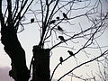 Alexandrine Parakeets, Ramsgate - Ellington park 2.jpg