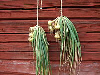 Allium cepa drying.jpg