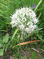 Allium fasciculatum.JPG
