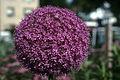 Allium giganteum WPC.jpg