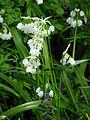 Allium paradoxum 02.JPG
