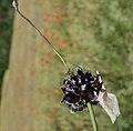 Allium scorodoprasum inflorescence (04).jpg