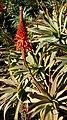 Aloe (22243755734).jpg