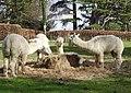Alpacas (32965531163).jpg