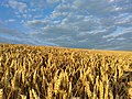 Altocumulus over fields Galley Common 1 August 2021 03.jpg
