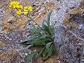Alyssum saxatile a4.jpg
