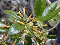 Alyxia.oliviformis1web.jpg
