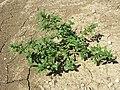 Amaranthus albus sl54.jpg