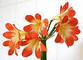Amaryllis orange yellow.jpg